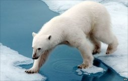 _50429048_z927144-polar_bear-spl