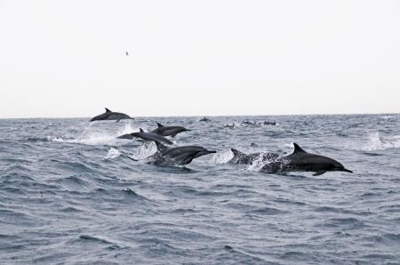 Oman dphins
